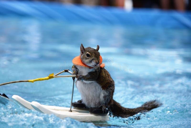 Twiggy poserar ekorren medan vattenskidåkning fotografering för bildbyråer