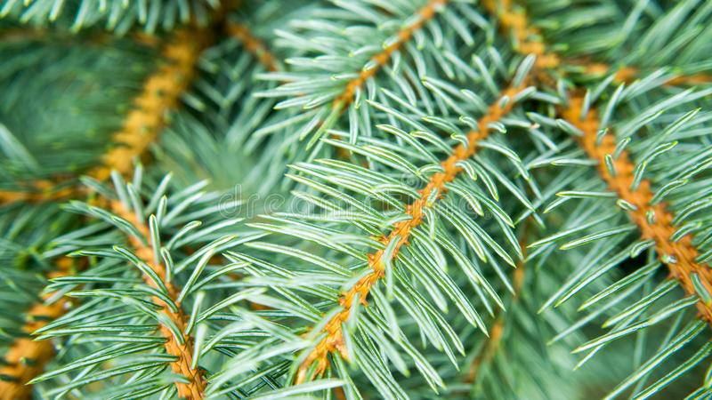 Twigs of a blue spruce stock images