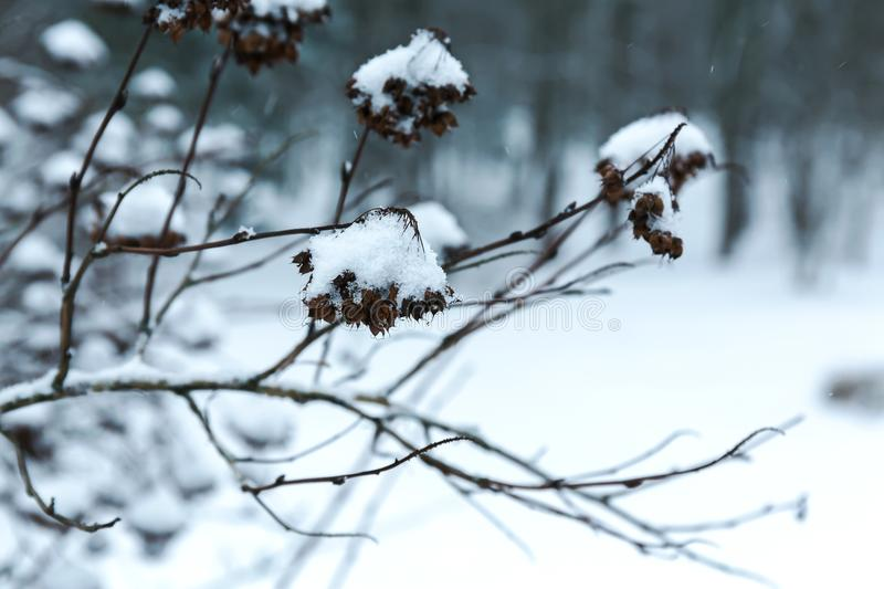Twigs of bush covered with snow on blurred forest background stock photos