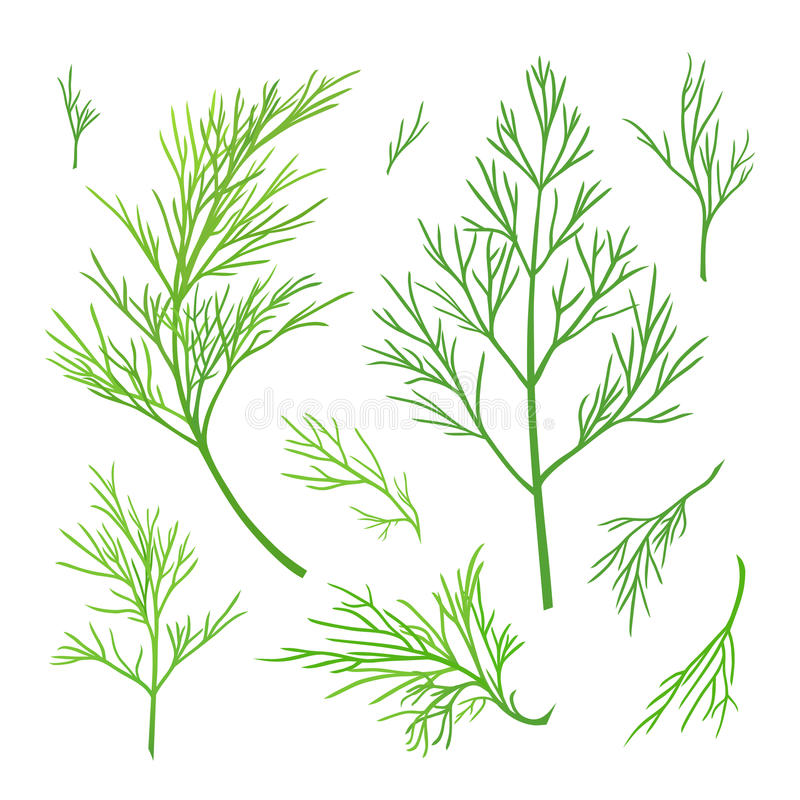 Twigs of dill. Green vector twigs of dill vector illustration