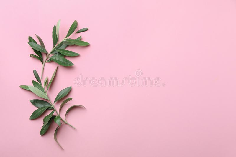 Twigs with fresh green olive leaves and space for text on color background. Flat lay royalty free stock photography