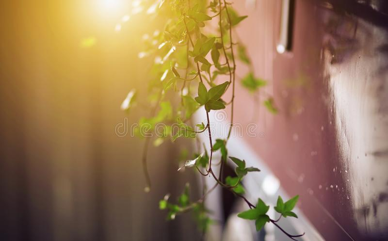 Twigs with ivy leaves hang from a pink wagon royalty free stock image