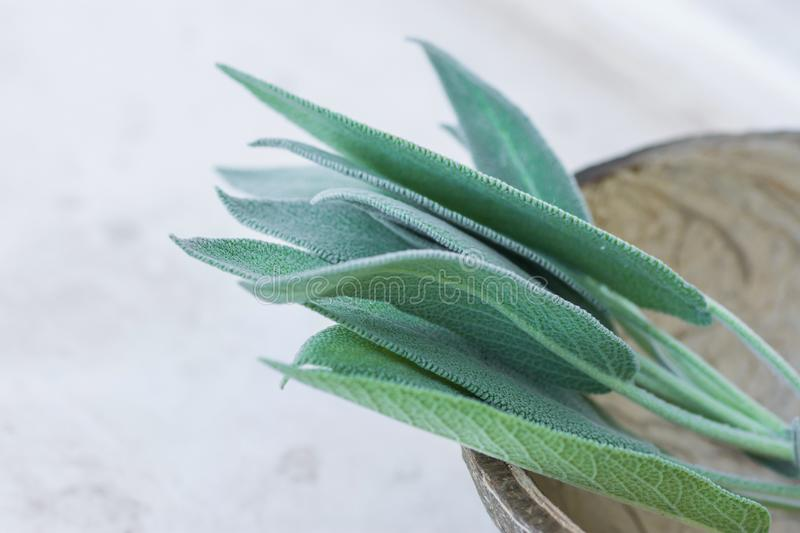 Twigs leaves of freshly picked sage in coconut bowl on white stone background. Culinary medicinal herbs essential oil wellness stock photo