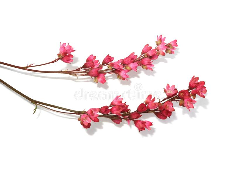Twigs with small delicate pink flowers isolated on white background royalty free stock photography
