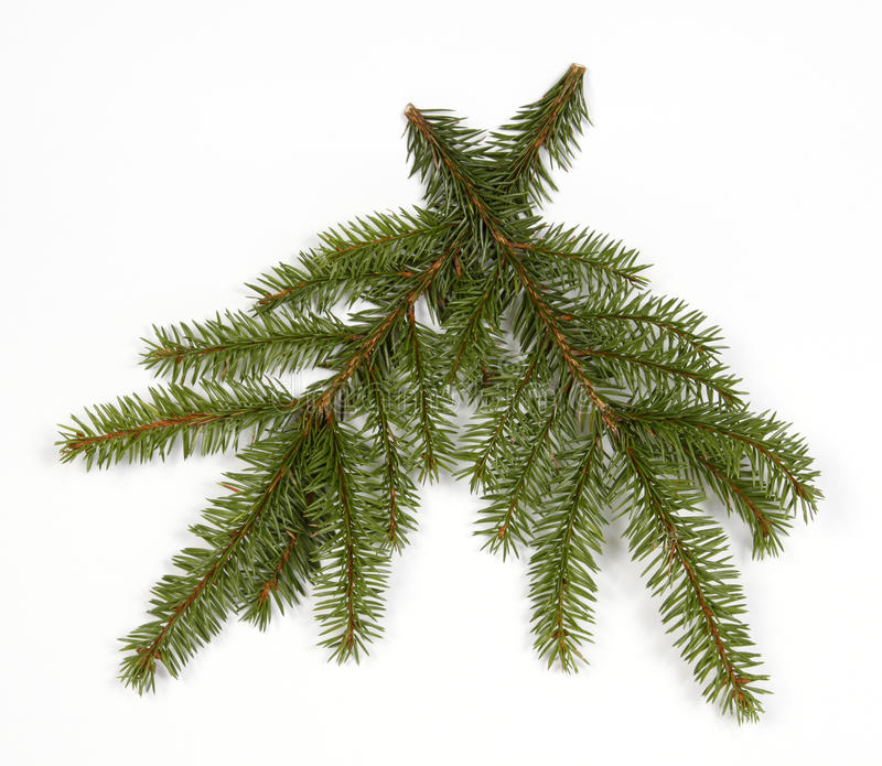 Twigs of the spruce stock photography