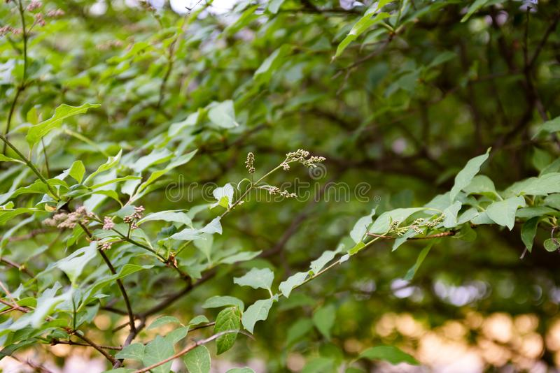 Twigs syringa with green leaves. Is close, oleaceae, leaf, flower, tree, flora, natural, grow, background, plant, nature, outdoor, garden, branch, shrub, season royalty free stock images
