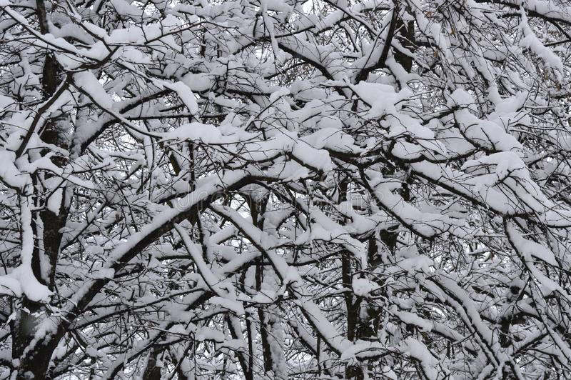 Twigs of trees in the snow royalty free stock images