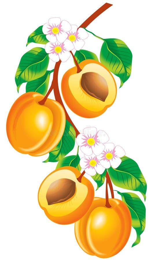 Twijg van abrikozen vector illustratie