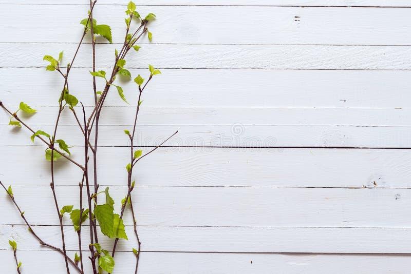 Twijg van berkbomen met bladeren die enkel op witte painte tot bloei komen royalty-vrije stock foto