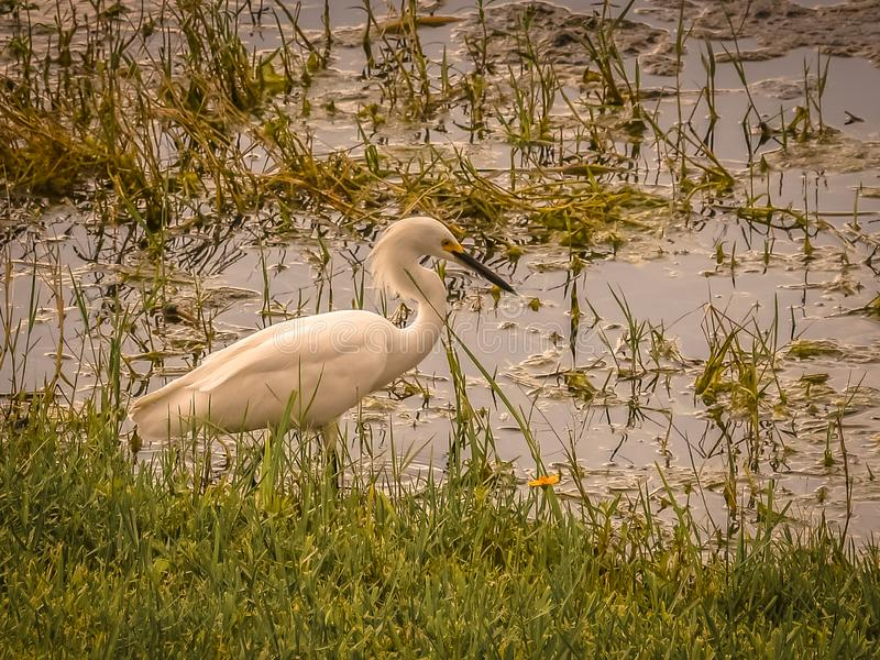 Twilight on the Snowy Egret in the Swamp. Close up of a snowy egret wading in a swampy pond with as the light begins to fade royalty free stock photos