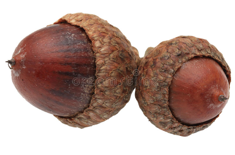 Download Twin acorns stock image. Image of flora, nuts, nourishment - 22139775