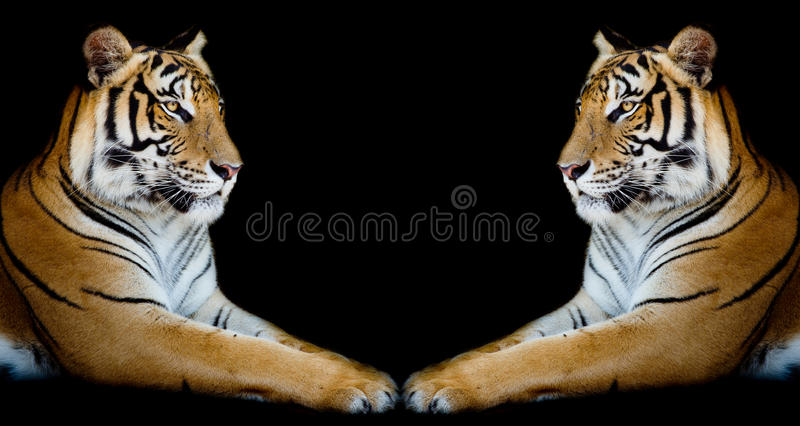 Twin beautiful tiger face to face isolated on black background. Closeup Twin beautiful tiger face to face isolated on black background royalty free stock photography