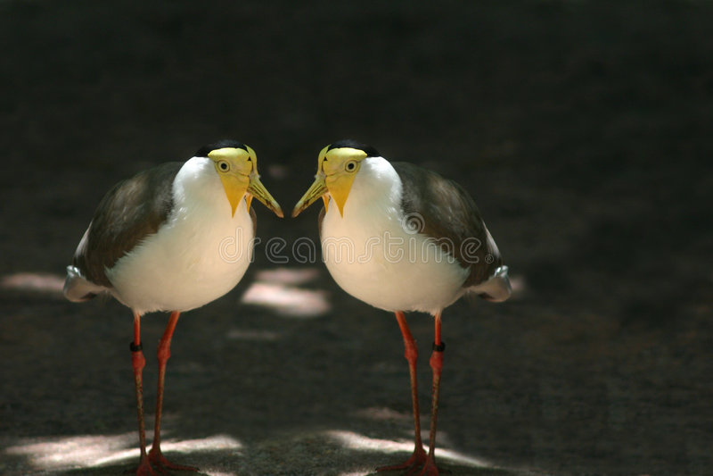 Twin birds stock photo