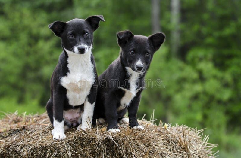 Twin Border Collie Corgi mixed breed puppy dog stock photos