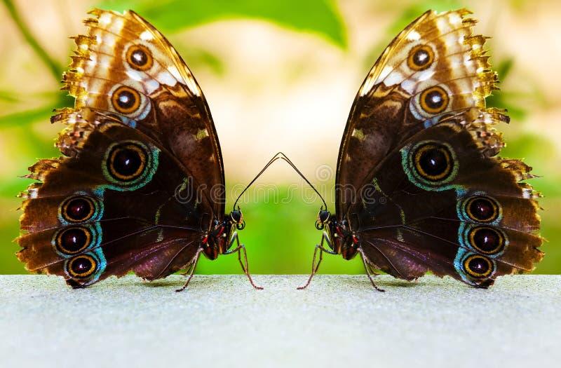 Twin Butterflies royalty free stock photo