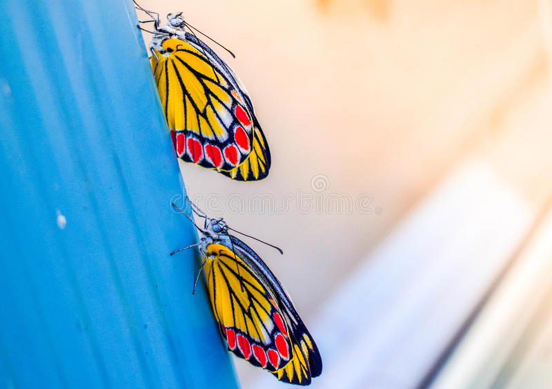 Twin Butterfly royalty free stock photos