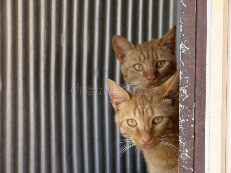 Download Twin cats stock photo. Image of peeking, cats, eyes, composition - 10889138