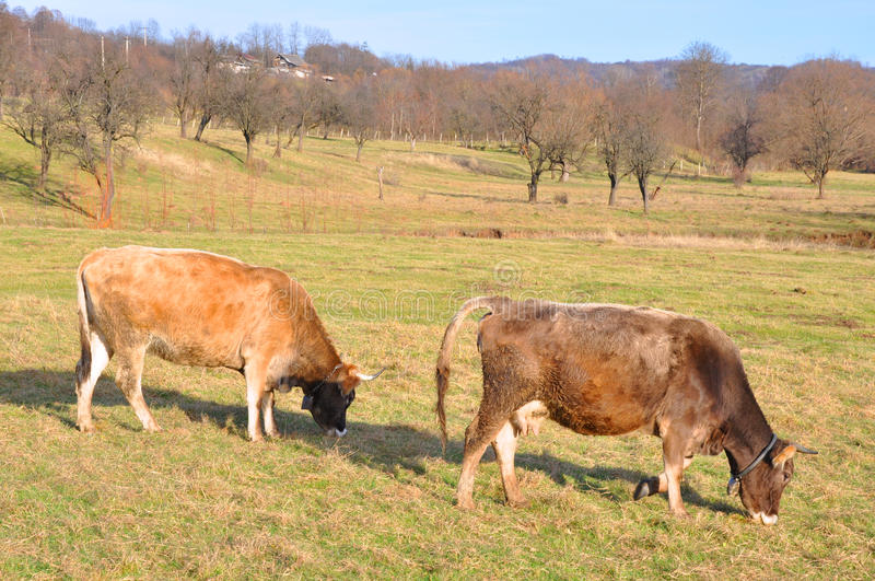 Twin cows on autumnal field stock photography