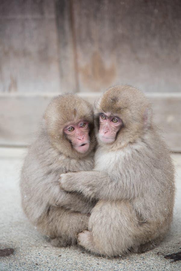 Snow Monkey at Jigokudani park. Twin Cute Snow Monkey at Jigokudani park in Yudanaka town , Nagano , Japan royalty free stock photos
