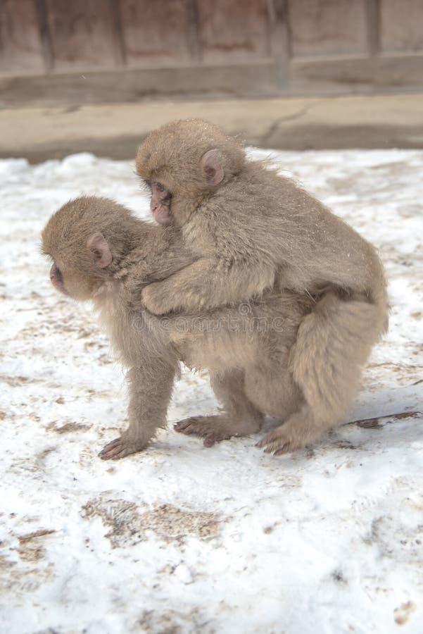 Snow Monkey at Jigokudani park. Twin Cute Snow Monkey at Jigokudani park in Yudanaka town , Nagano , Japan royalty free stock image