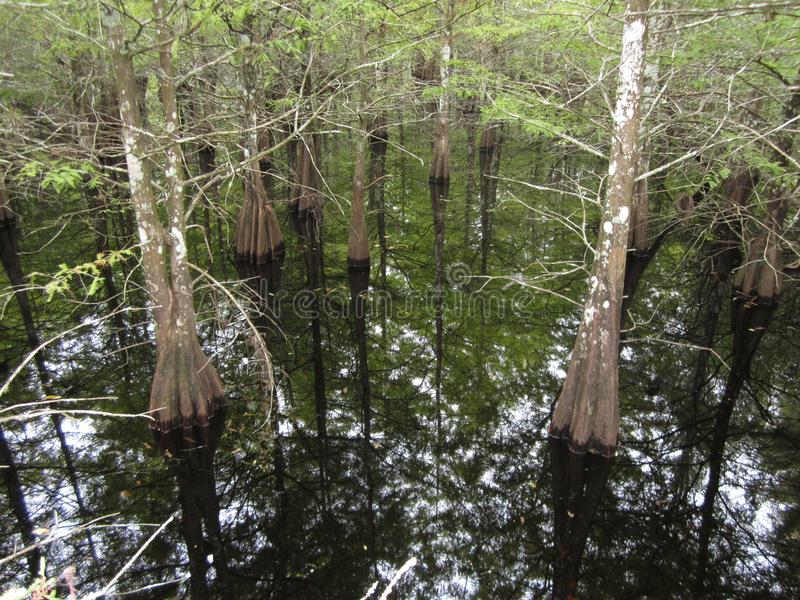 Twin Cypress trees reflected in pristine water royalty free stock images