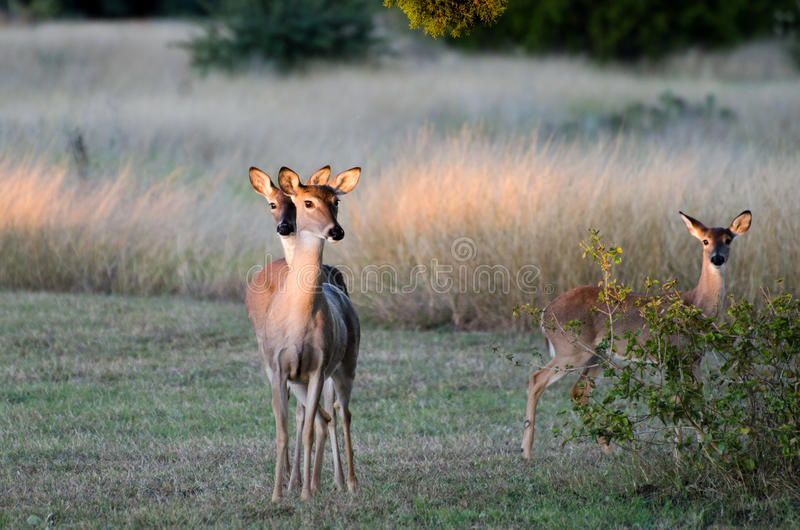 Twin Deer Fawns, Texas White tailed Deer stock image