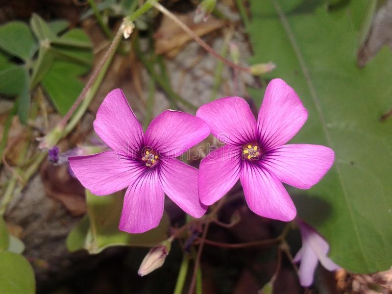 Twin flower in love royalty free stock photography