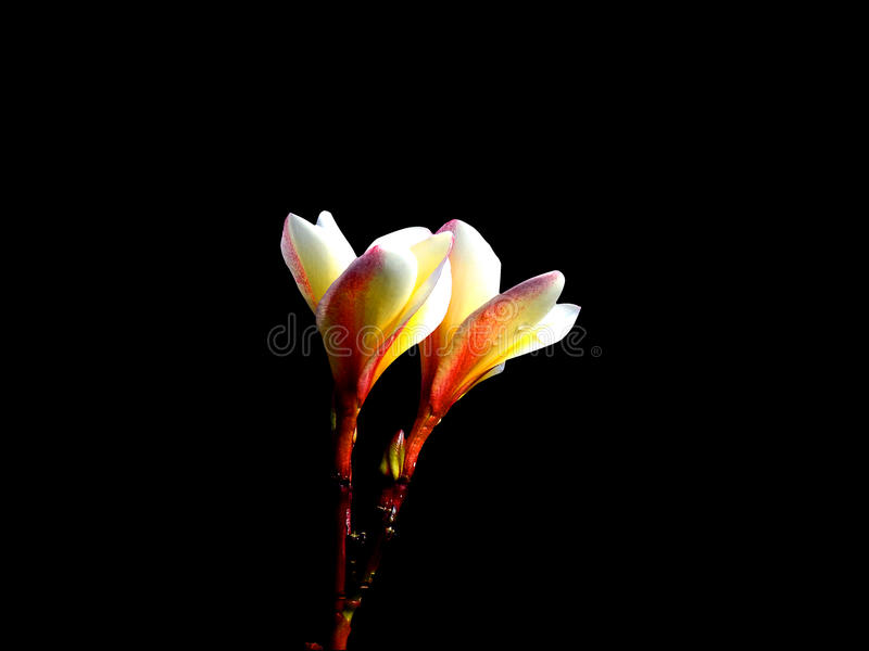 Twin flowers in the dark. royalty free stock photo