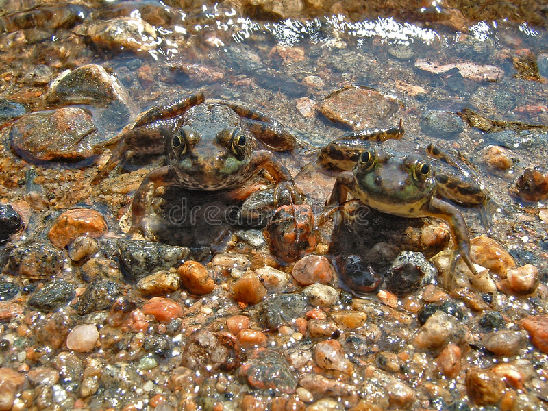Twin Frogs royalty free stock photo