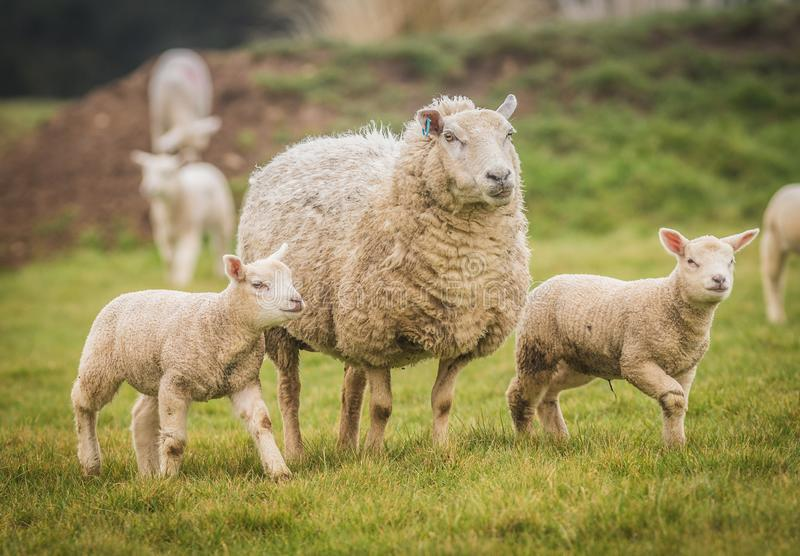 Twin lambs in a field with their mother. stock photography