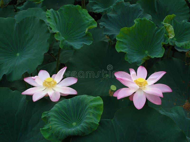 Twin Lotuses royalty free stock photos