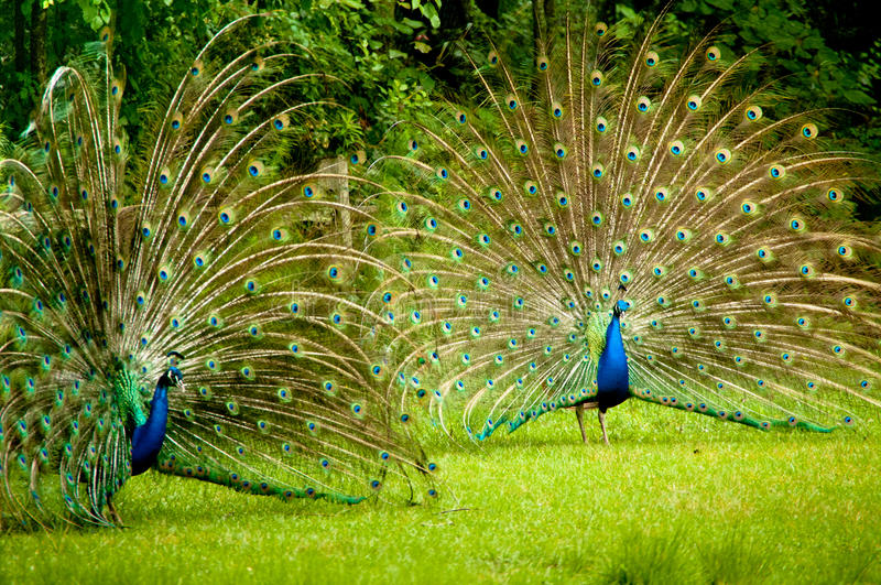 Twin Peacocks. Two male peacocks showing their true colors royalty free stock image