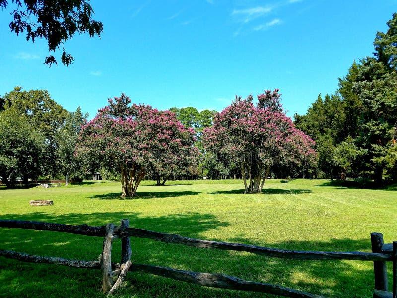 Twin Pink Trees in Field. Jamestown, VA royalty free stock photos