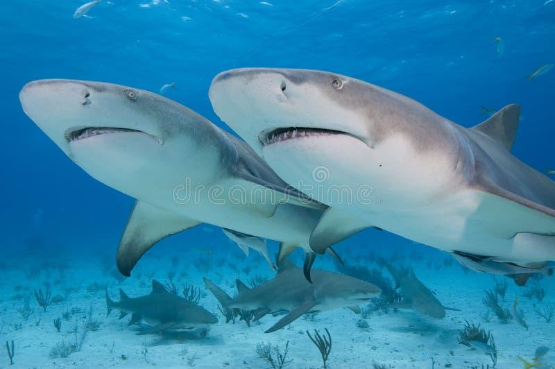 Twin sharks. Two lemon Sharks swimming together