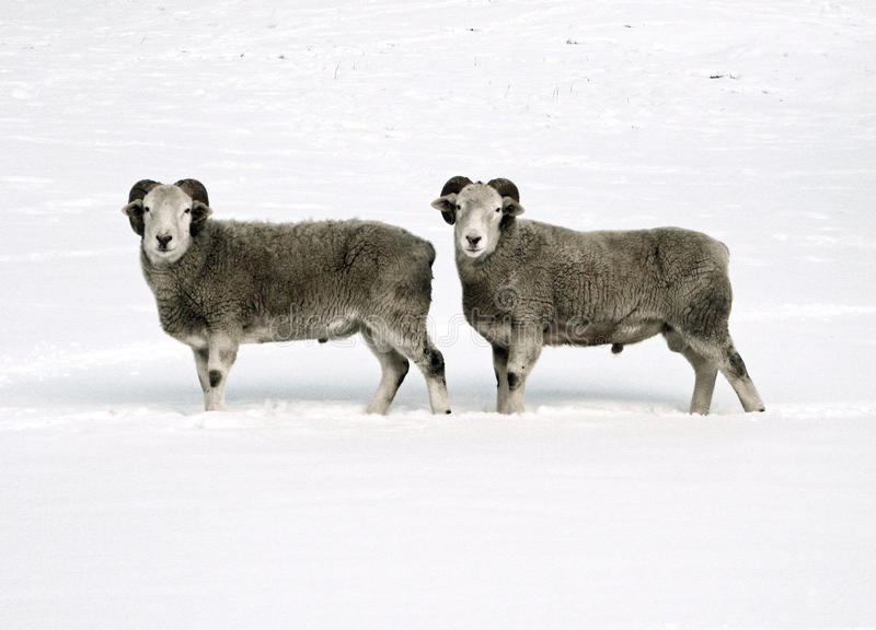 Twin Sheep stock photography