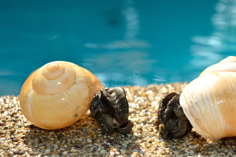 Twin snail on the pool royalty free stock photography