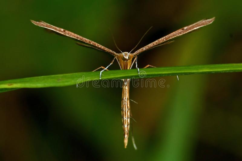 Twin-spot Plume, Stenoptilia bipunctidactyla. Plume moth sitting on a blade of grass royalty free stock images