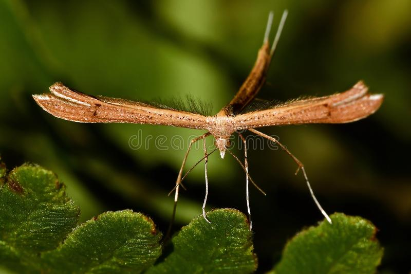 Twin-spot Plume, Stenoptilia bipunctidactyla. Plume moth sitting on a blade of grass royalty free stock photography