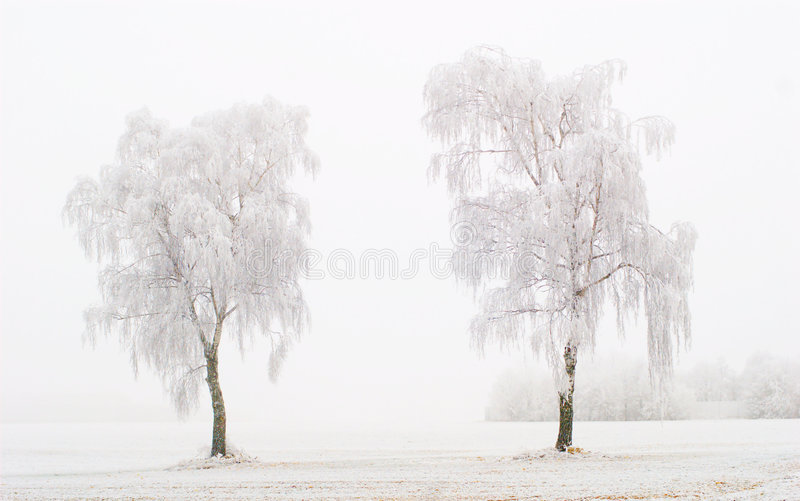 Twin Trees at Winter Time. Two trees with rime in the fog royalty free stock image