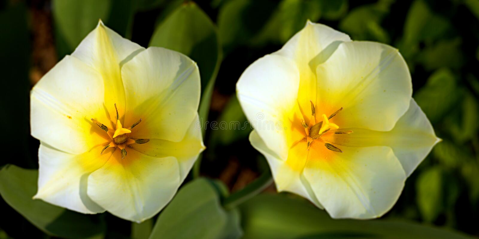 Twin tulips royalty free stock photos