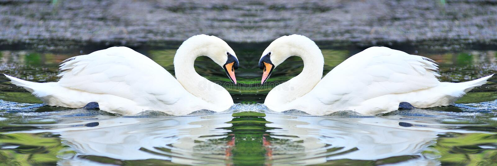 Twin white swans floating in lake stock image