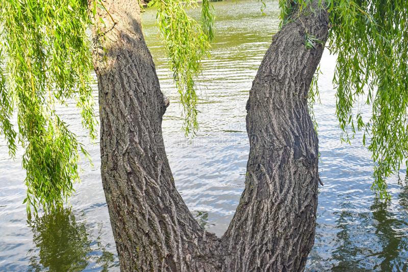 Twin willow trees with twisted trunks have the shape of woman legs stock photos