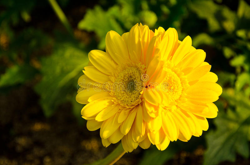 Twin yellow daisy flowers in the sun in the garden royalty free stock photo
