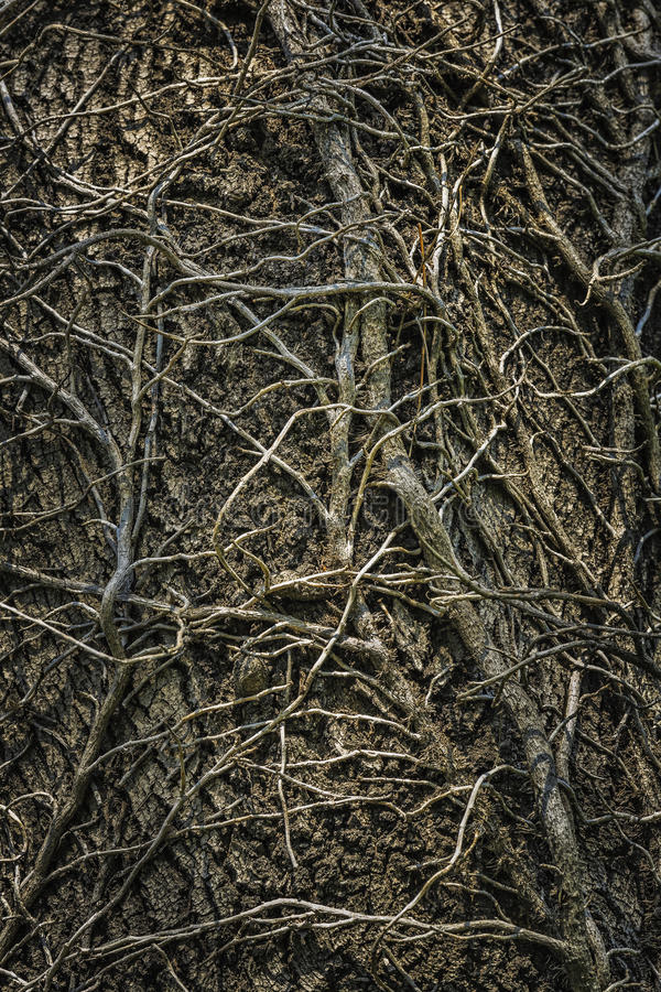 Twining leafless creeping branches. Twining leafless ivy branches creeping up an old oak tree trunk. Intricate grunge natural, organic background, texture royalty free stock image