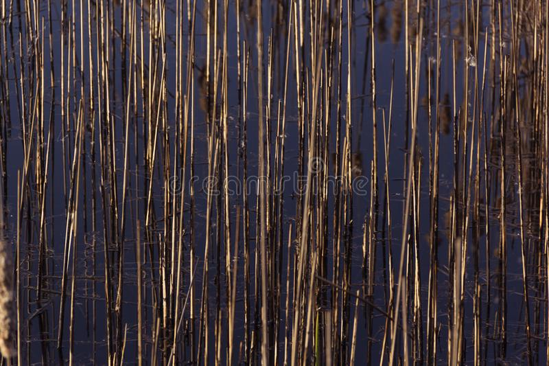 Twinkling in sunlight reeds grass spring background. Savannah stock images