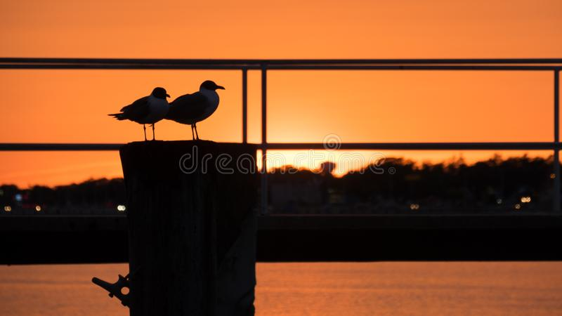 Twins Gulls In The Sun royalty free stock photo