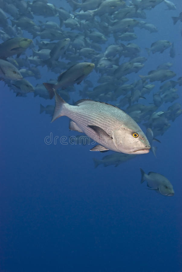 Twinspot snapper. stock image