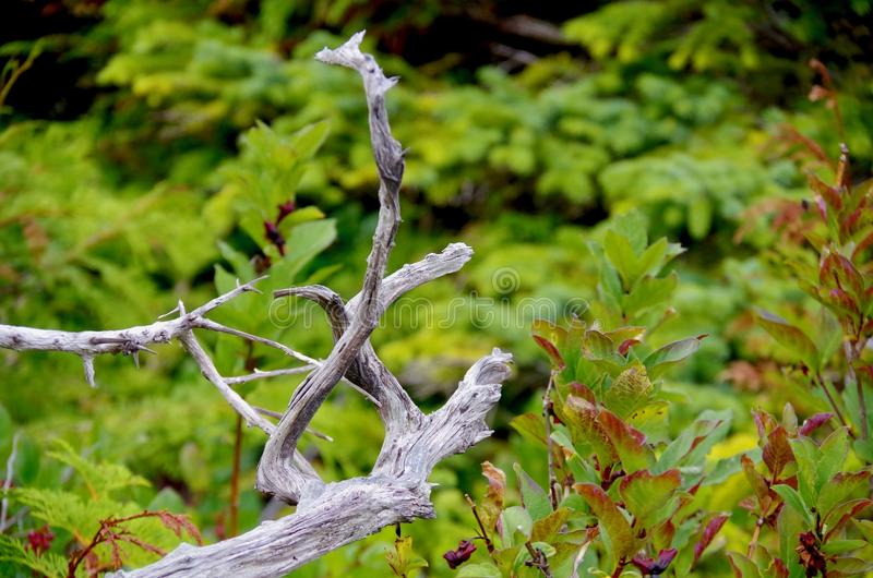 Twisted branches of a bleached, dead tree contrast with the bright green of the surrounding foliage stock photos