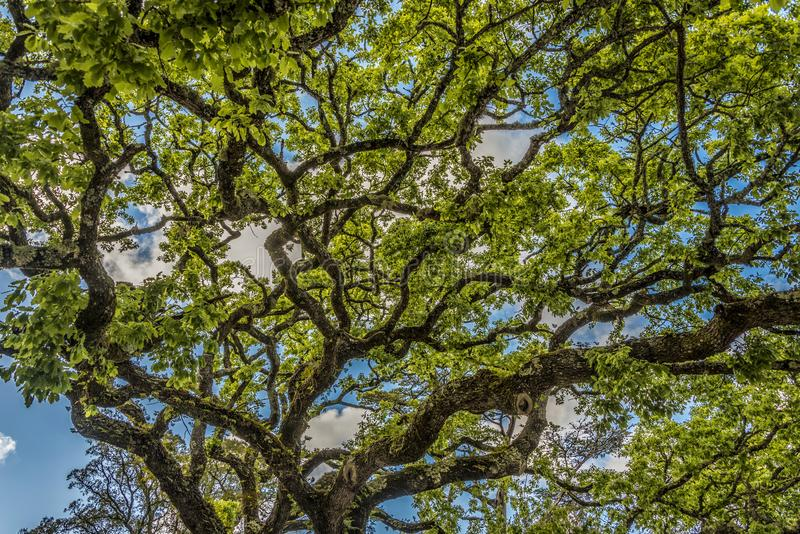 The twisted branches of a large oak tree in the Quinta de Regaleira park stock photos