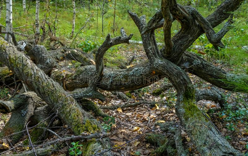 Twisted branches and roots of old gray trees are covered with moss in a summer Siberian forest. royalty free stock photography